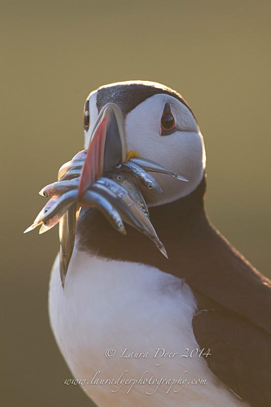 Dinner for the chick - Seabirds