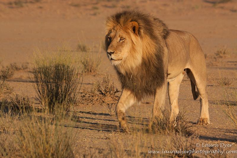 Kalahari Black-maned beauty - Lions
