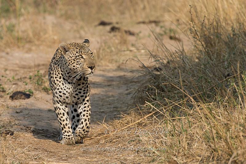 Confident glance - Leopards