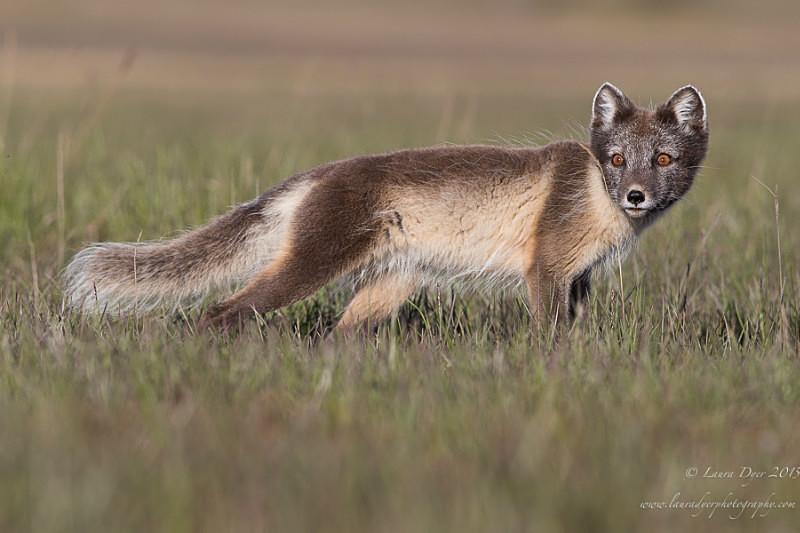 Polar Fox - Svalbard
