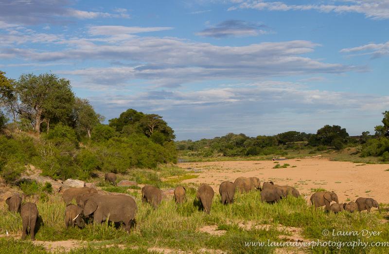 Elephant herd in riverbed