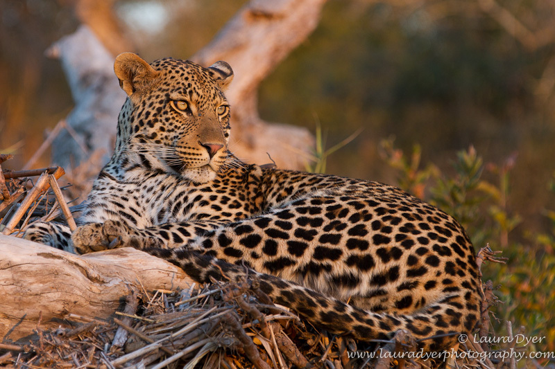Leopard in the river - Leopards