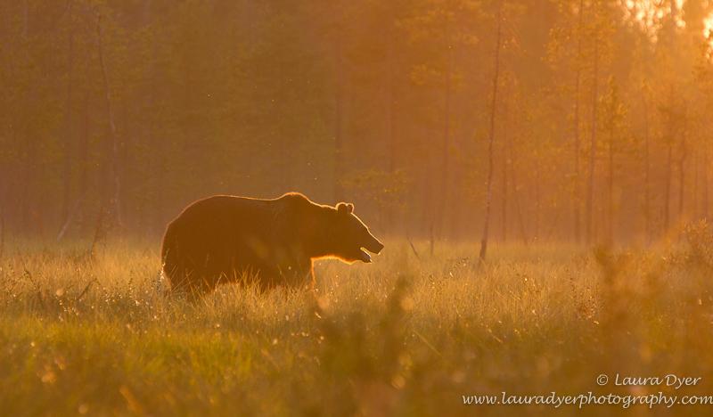 Brown bear at sunset - Finland