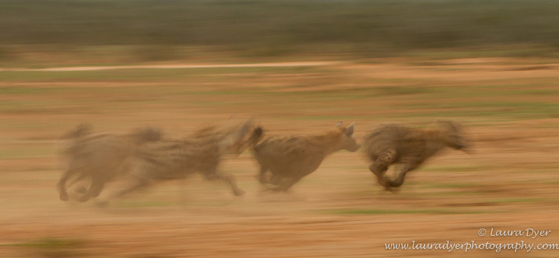 Hyena in motion - Hyena