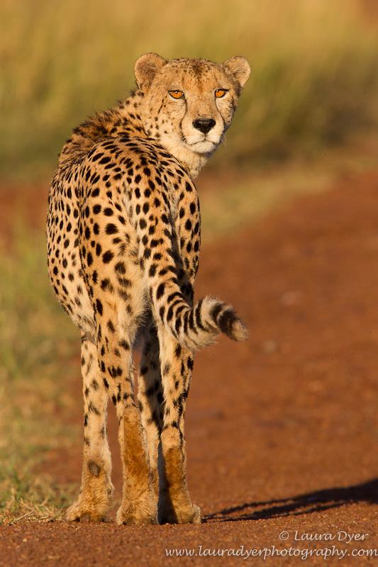 Sunrise cheetah - Cheetah