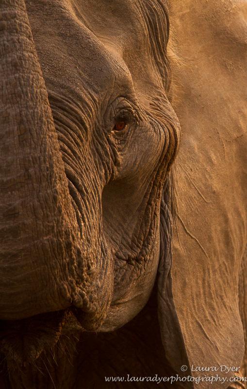 Gentle Giant- elephant portrait