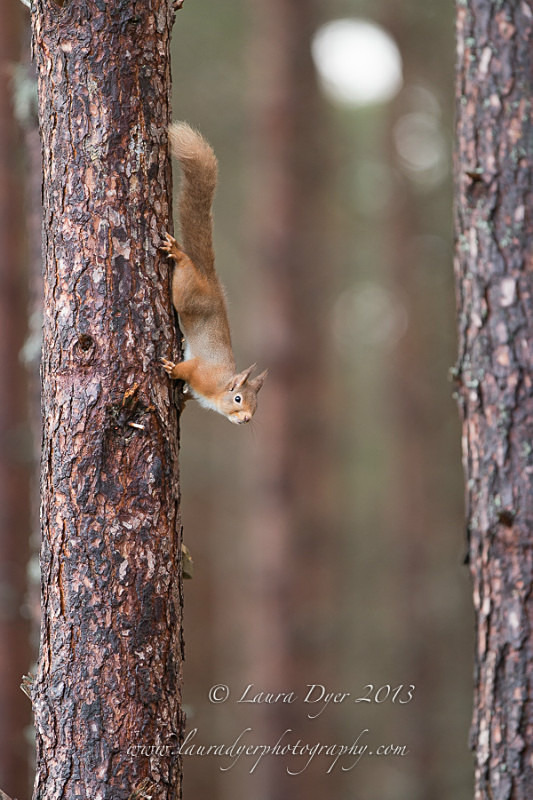 Red in the trees - British Wildlife
