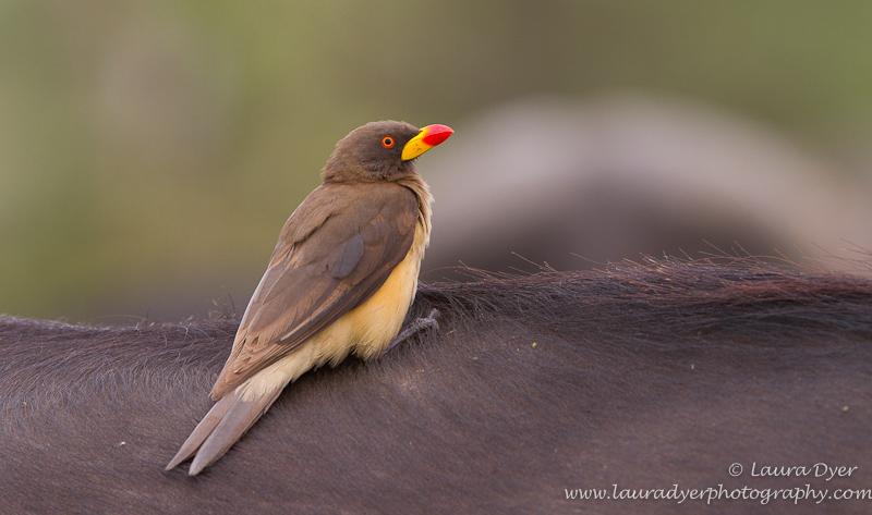 Yellow Billed Oxpecker on Buffalo