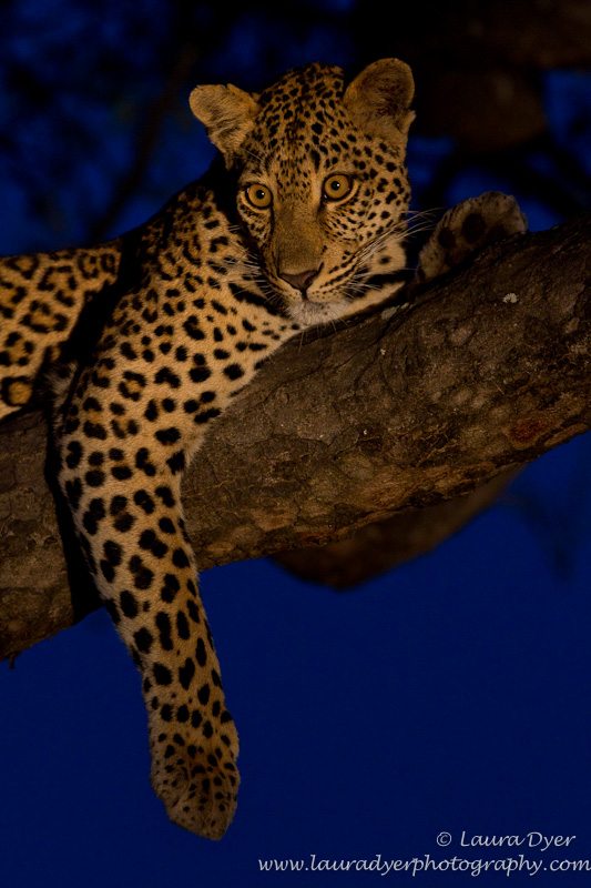 Leopard at twilight