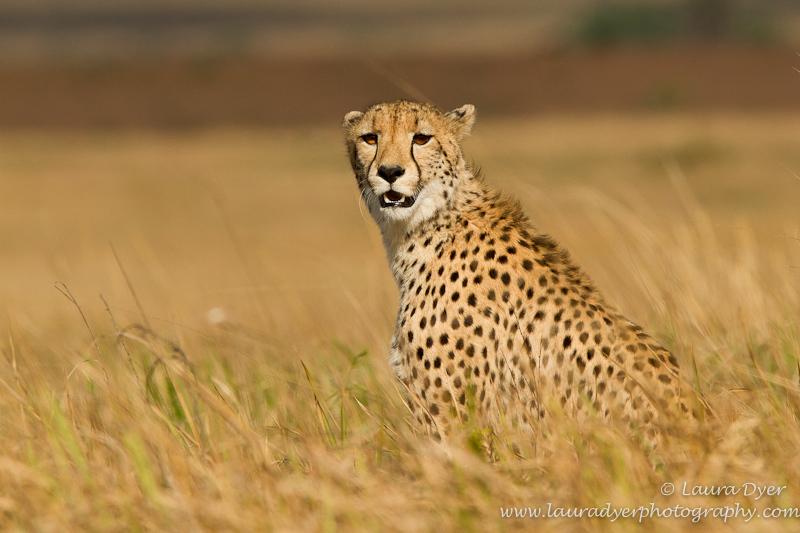 Marshland cheetah - Cheetah