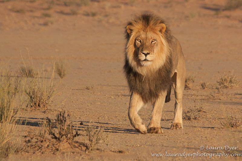 Marching Kalahari Male Lion