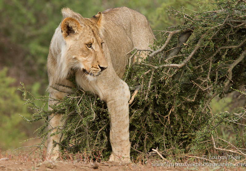 Playful lion and bush