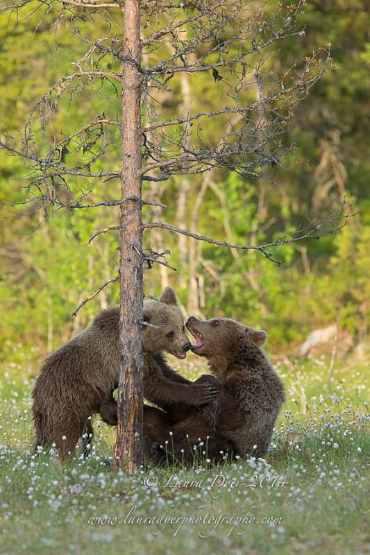 Playful bears - Finland