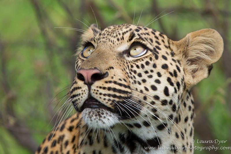 Wide eyes - Leopards