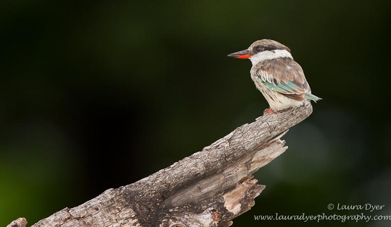 Striped Kingfisher in Okavango