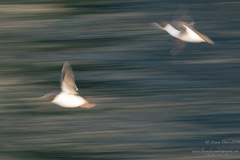 Guillemot motion - Svalbard