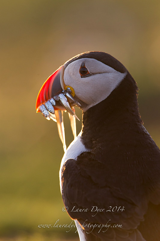 Backlit Puffin with sand eels - Seabirds