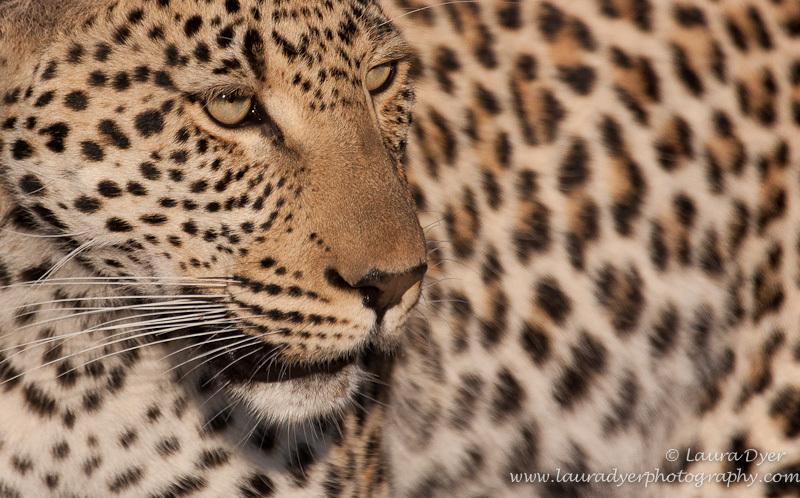 Male leopard close up - Leopards