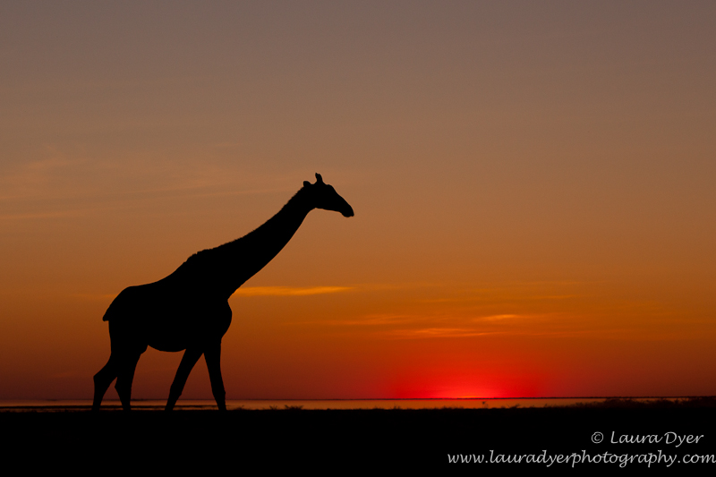 Giraffe on the Etosha pan