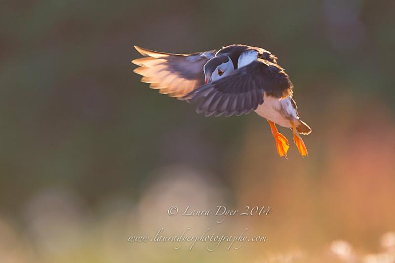 Sunset Puffin flight - Seabirds