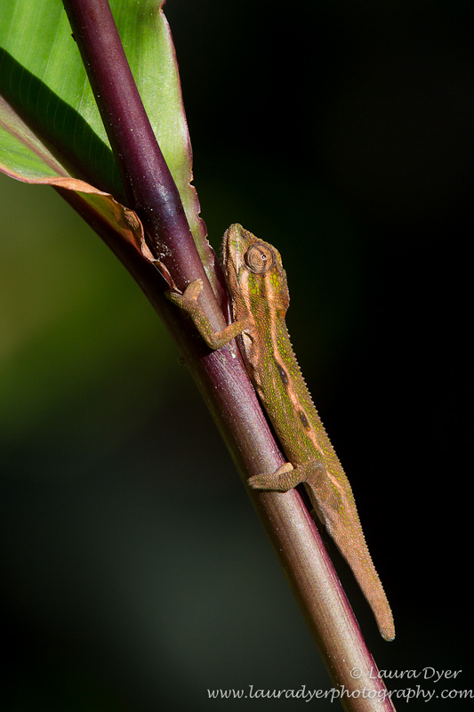 Young chameleon in garden - Other Nature