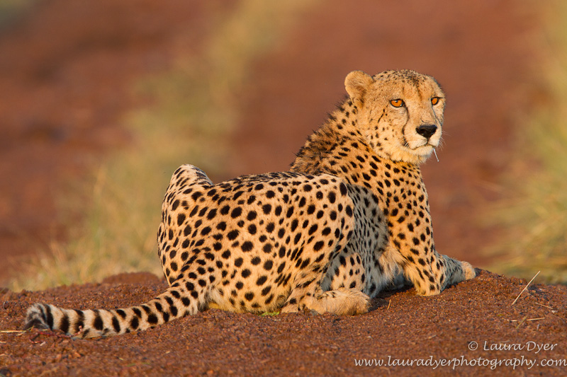 Male cheetah at sunrise - Cheetah