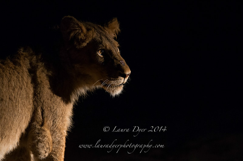Night time Lion - Lions