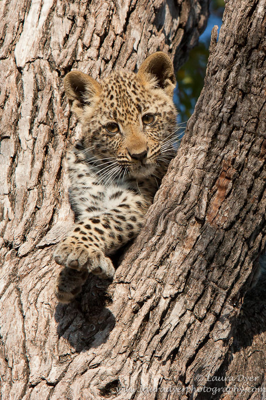 Tlangisa in tree as a cub - Leopards