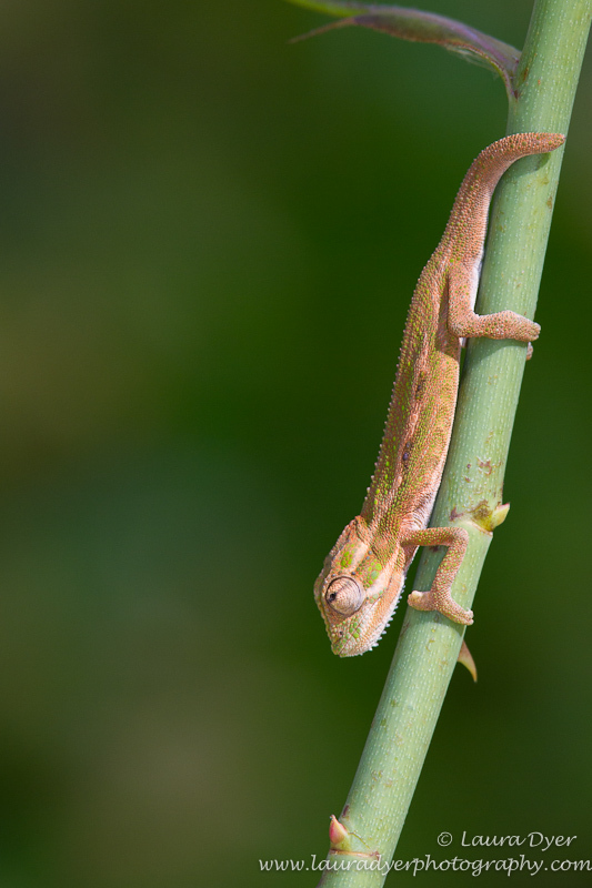 Baby chameleon on rose bush - Other Nature