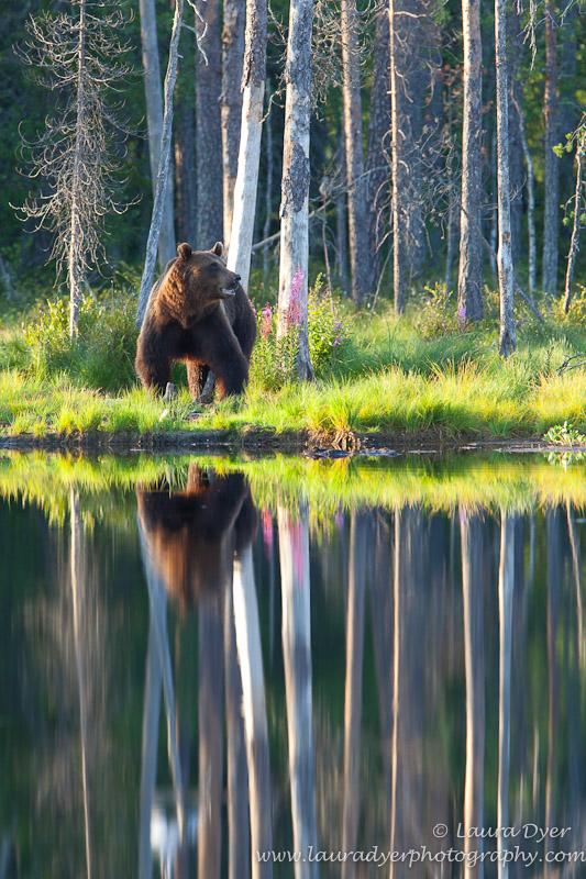 Brown Bear Reflections