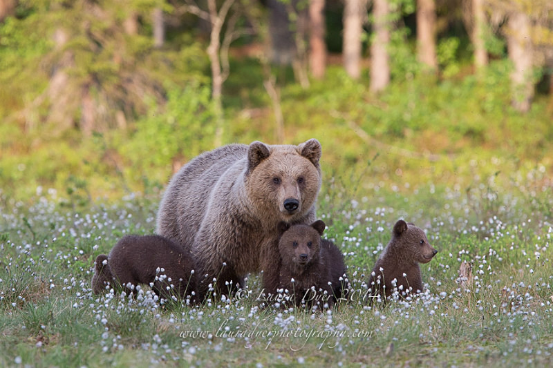 Mother and Spring Cubs - Finland