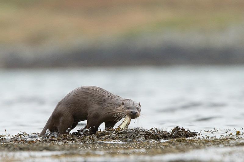 Otter with fish - British Wildlife