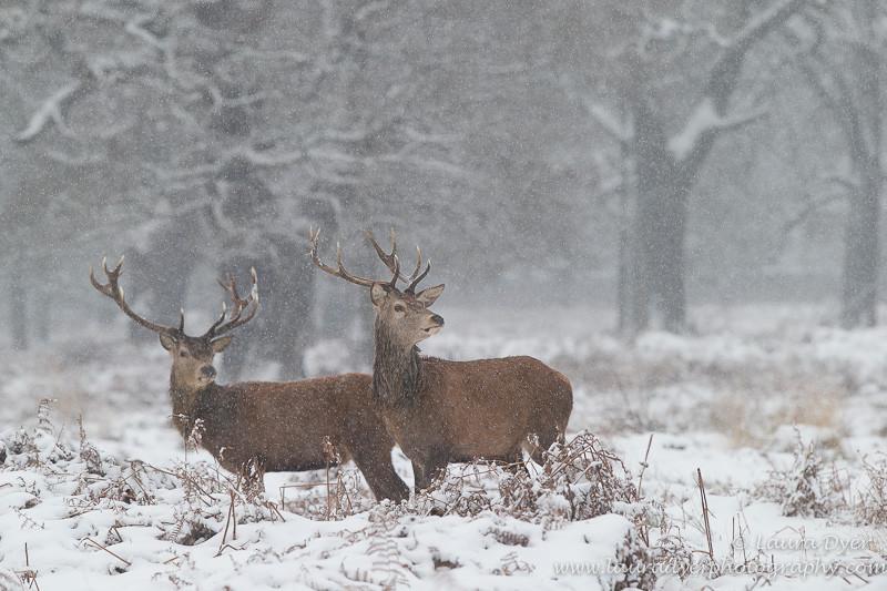 Snowy Red Deer - British Wildlife