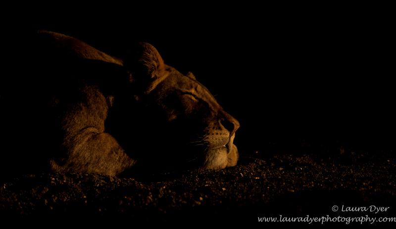 Sleeping beauty in Mashatu - Lions