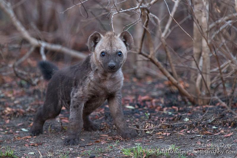 Hyena pup on burnt ground - Hyena
