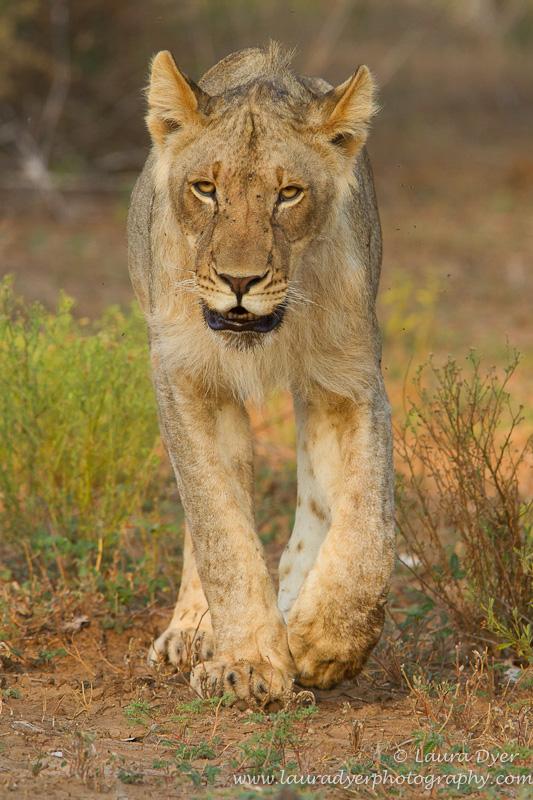 Male lion on approach