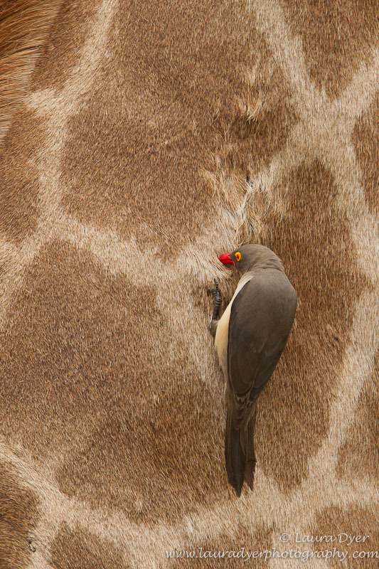 Red-billed oxpecker on Giraffe hide