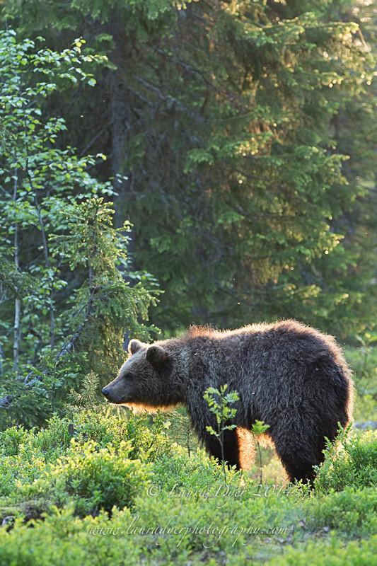 Sunrise Bear - Finland