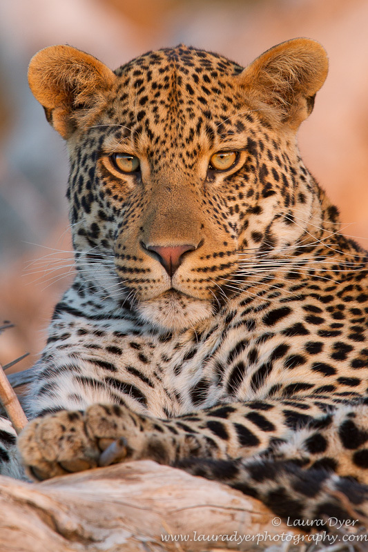 Rollercoaster son portrait - Leopards