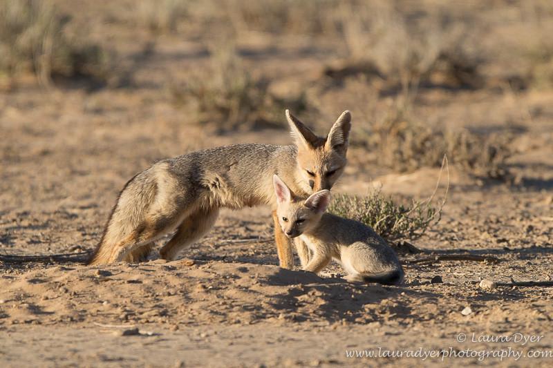 Cape Fox family - Other predators