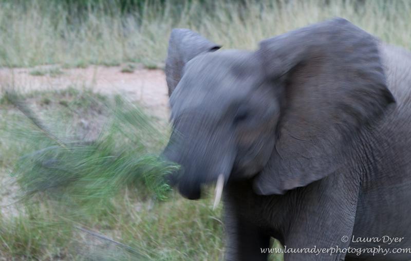 Elephant shaking its head