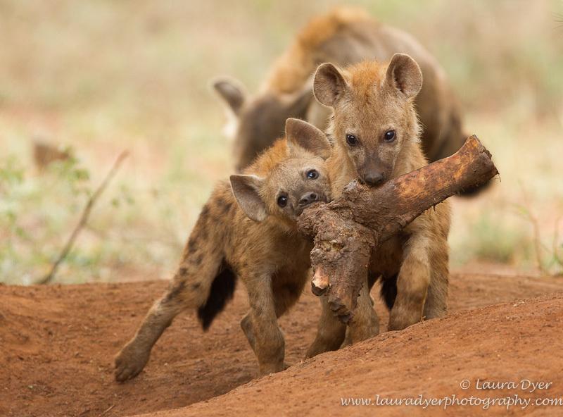 Hyena cubs with elephant leg bone - Hyena