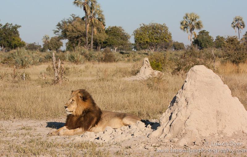 Okavango Male Lion in environment - Lions