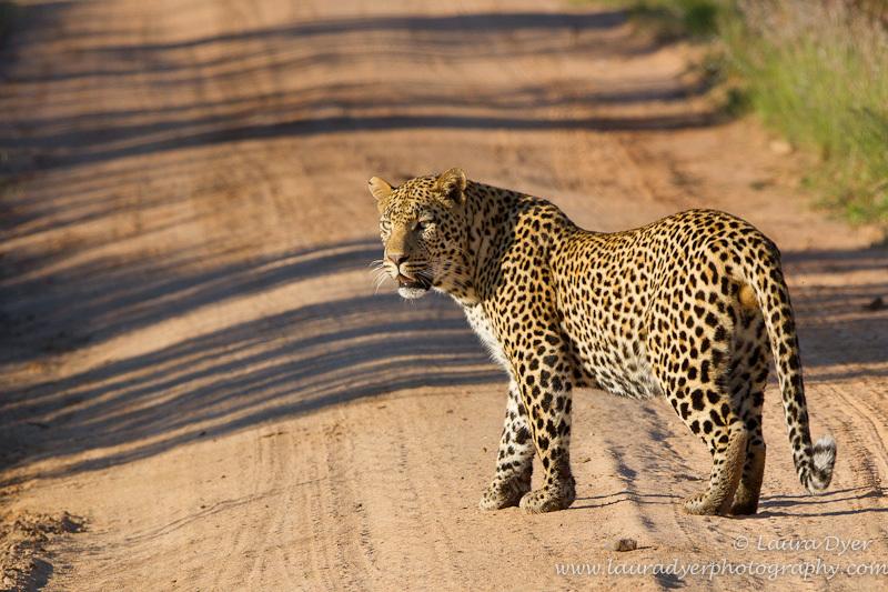 Leopard fence patrol