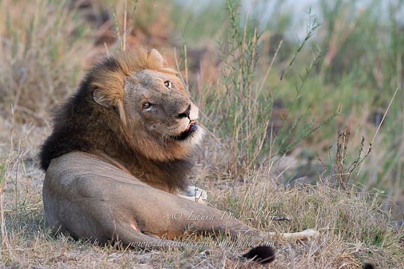 Backward Glance - Lions
