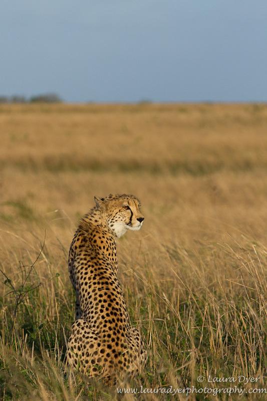 Cheetah on the plains - Cheetah
