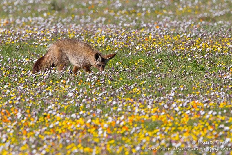 Bat Eared Fox in the flowers