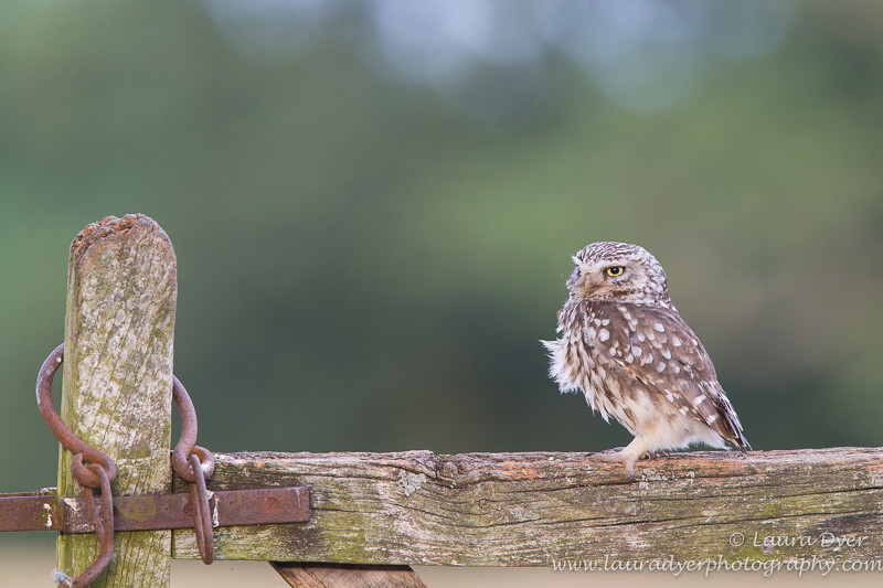 Little owl on country gate - British Wildlife