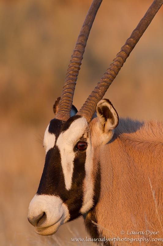 Gemsbok portrait - African Mammals