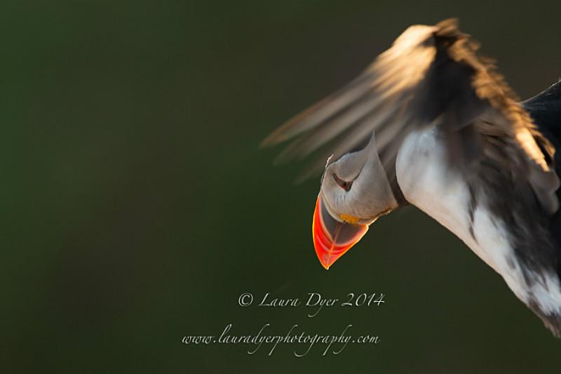 Peeping Puffin - Seabirds